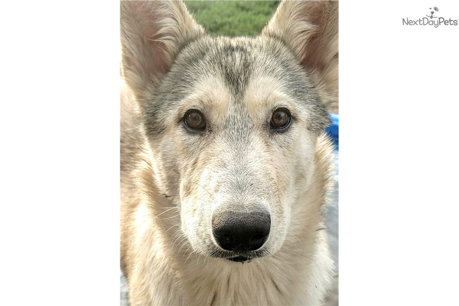 Sahara: Wolf Hybrid puppy for sale near Medford-ashland