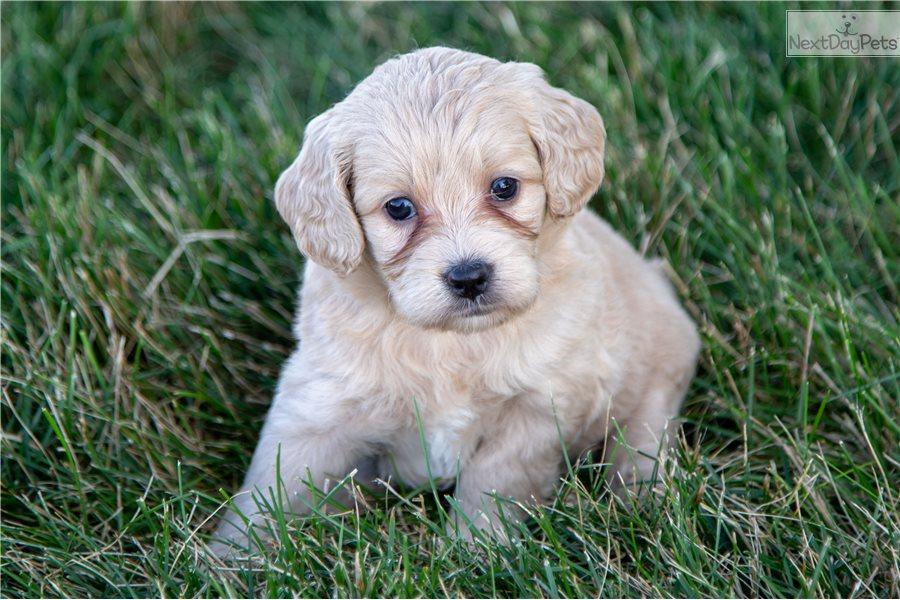 Goldendoodle puppy for sale near Ames, Iowa | e4e09b68-37c1