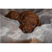 View full profile for Cristians Toy Poodles