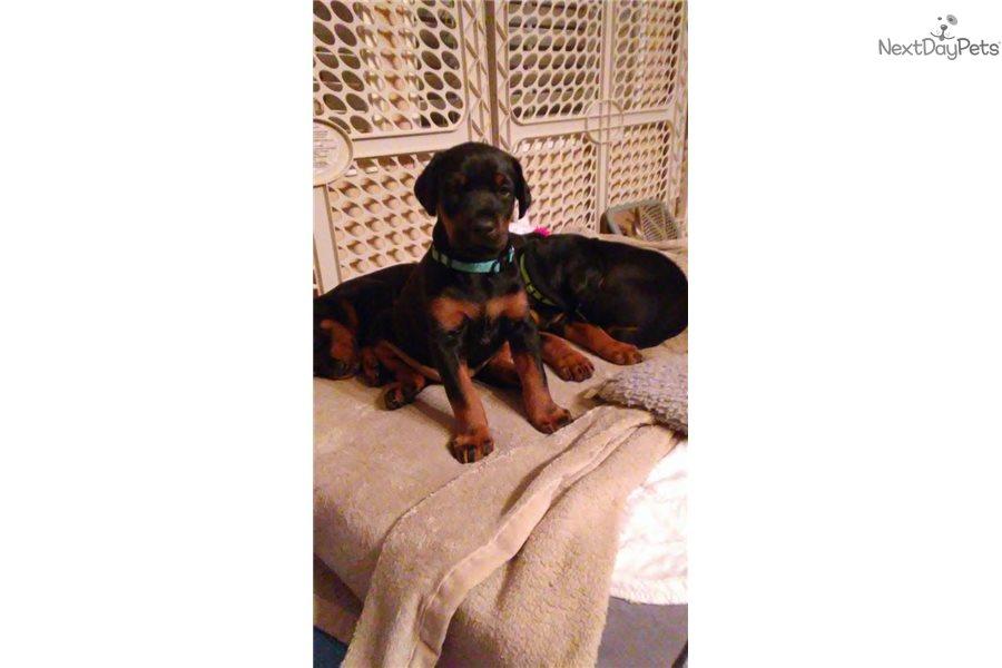 Mr. Lt Blue: Doberman Pinscher puppy for sale near South Australia