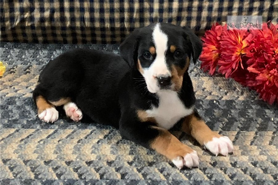 Sarah: Greater Swiss Mountain Dog puppy for sale near ...