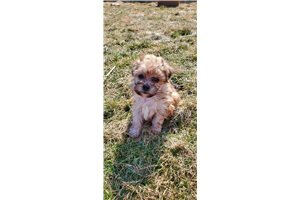 Benji | Puppy at 10 weeks of age for sale