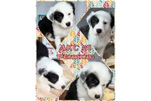 Picture of AKC Five
