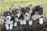 Picture of AKC registered corgi male puppy 2