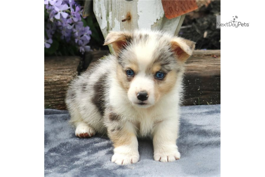 Twinkles: Corgi puppy for sale near Harrisburg ...
