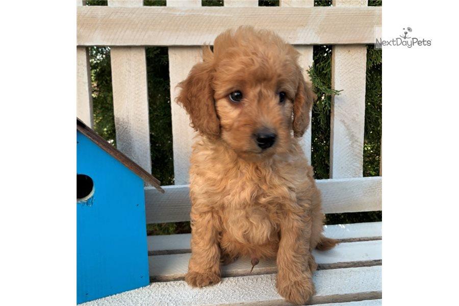 Dallas: Goldendoodle puppy for sale near Harrisburg ...