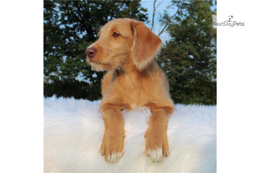 Kenya: Labradoodle puppy for sale near Harrisburg ...