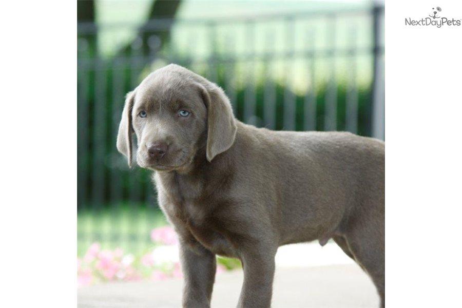 Labrador Retriever puppy for sale near Harrisburg