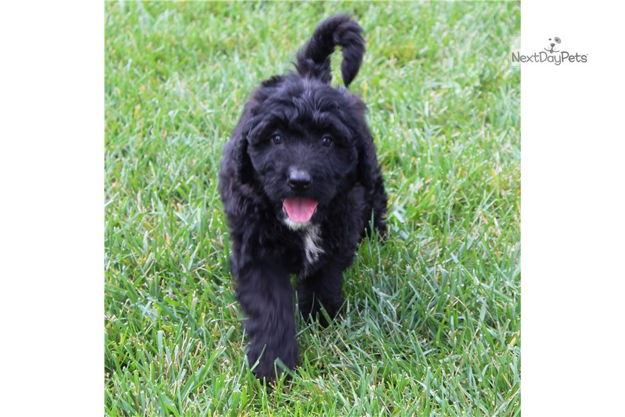Picture of a Mini Bernedoodle