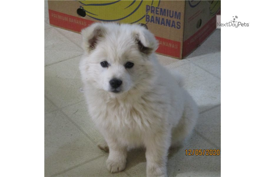 Picture of a Spitz