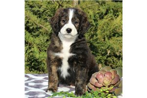 Harry | Puppy at 8 weeks of age for sale