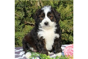 Heidi | Puppy at 8 weeks of age for sale