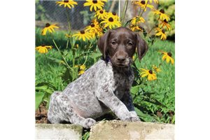 German Shorthaired Pointers for sale