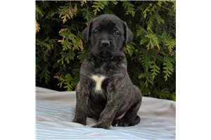 Khloe | Puppy at 6 weeks of age for sale