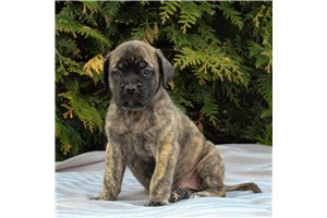 Kacy | Puppy at 6 weeks of age for sale
