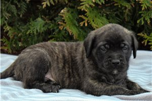 Kingston | Puppy at 6 weeks of age for sale