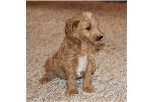 Picture of a Mini Goldendoodle Puppy