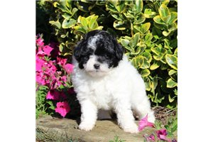 Sweetie | Puppy at 10 weeks of age for sale