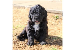 Felix  | Puppy at 11 weeks of age for sale
