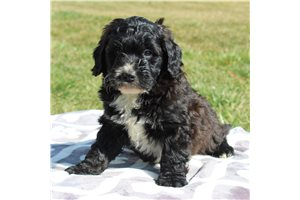 Frank | Puppy at 11 weeks of age for sale