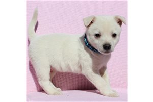 Spitz for sale