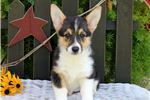Maizie- ACA- Health Guarantee | Puppy at 10 weeks of age for sale