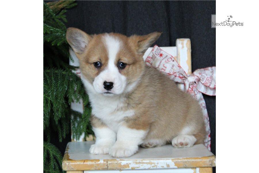 Brittney Welsh Corgi Pembroke Puppy For Sale Near Harrisburg Pennsylvania Db7c0e7c 0c71