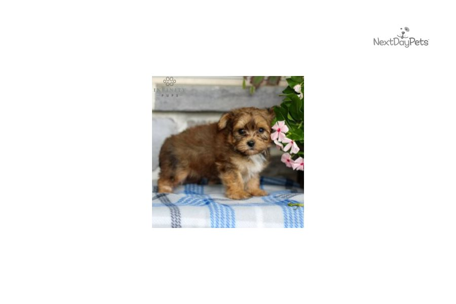 Picture of a Yorkiechon