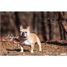 View full profile for Vigia Frenchbulldogs