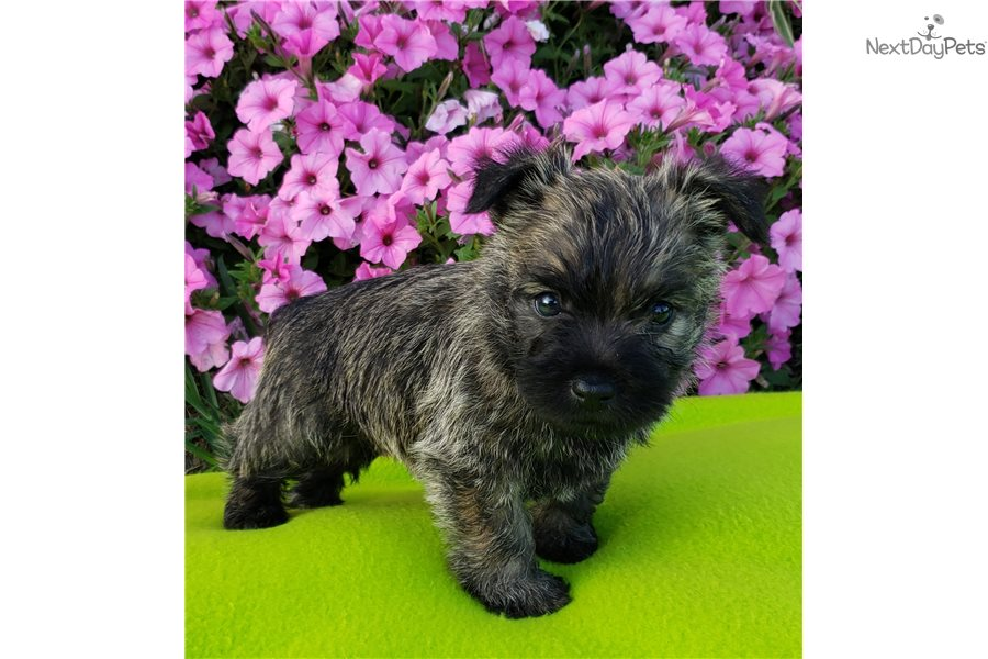 Rocky: Cairn Terrier puppy for sale near Akron / Canton, Ohio
