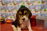 Beagle for sale