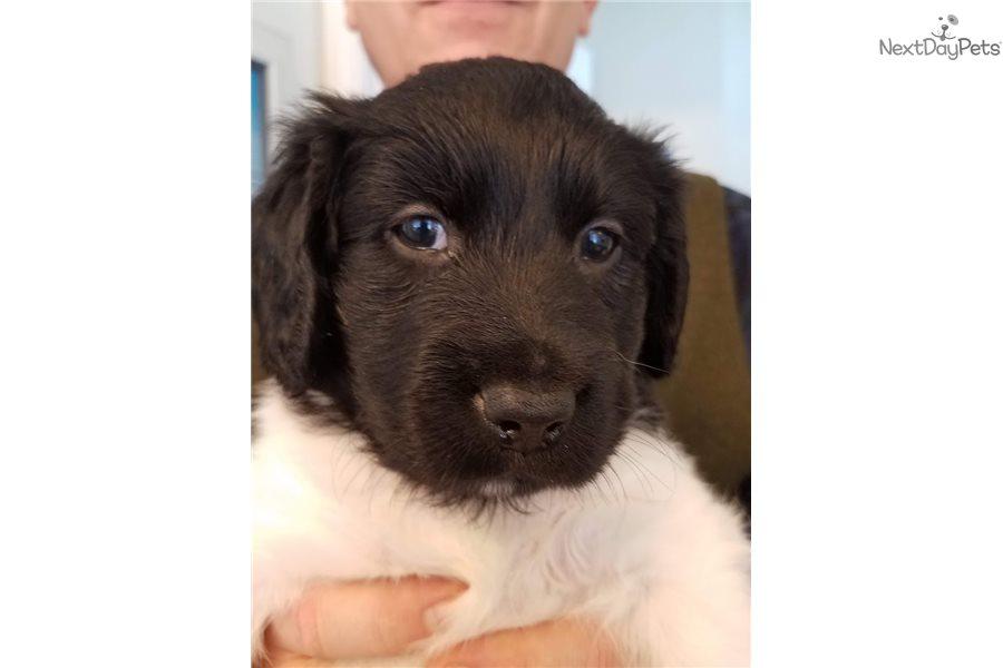 Stabyhoun Puppy For Sale Near Northern Michigan Michigan