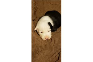 Lady - Border Collie for sale
