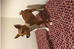 Picture of Red and White Female AKC Basenji DOB 12-31-18
