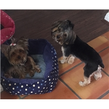 View full profile for Lake Travis Yorkies