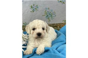 Mr Trenton - Bichon Frise for sale
