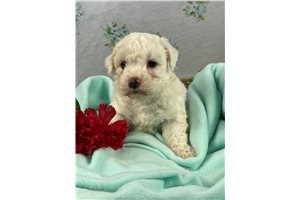 Mr Tony - Bichon Frise for sale