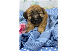 Miss Dianna - Soft Coated Wheaten Terrier for sale