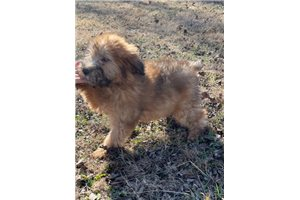 Rita - Soft Coated Wheaten Terrier for sale