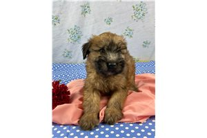 Miss Bella - Soft Coated Wheaten Terrier for sale