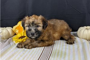 Reba - Soft Coated Wheaten Terrier for sale