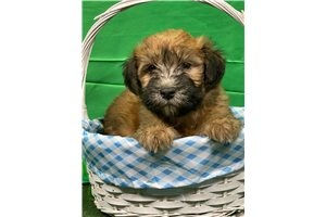 Miss Susie - Soft Coated Wheaten Terrier for sale