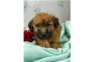 Mr Billy - Soft Coated Wheaten Terrier for sale