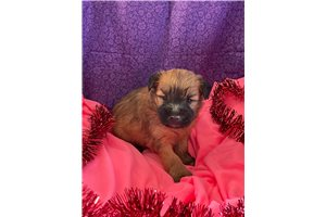 Miss Daisy  - Soft Coated Wheaten Terrier for sale
