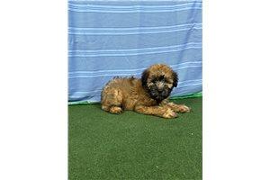 Mr Steven - Soft Coated Wheaten Terrier for sale