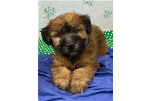 Mr Buster - Soft Coated Wheaten Terrier for sale