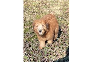 Ronna - Soft Coated Wheaten Terrier for sale