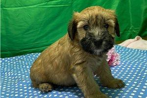 Miss Denise - Soft Coated Wheaten Terrier for sale