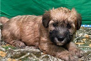 Miss Darla - Soft Coated Wheaten Terrier for sale