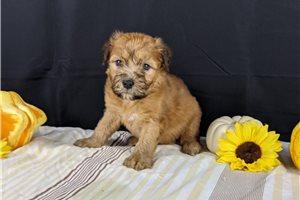 Roxy - Soft Coated Wheaten Terrier for sale